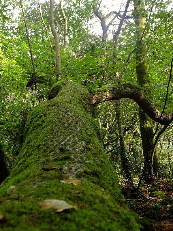 Mossy horizontal tree trunk - Trevaylor woods, Penzance, Cornwall ~ IanB ~ Wildbits.co.uk