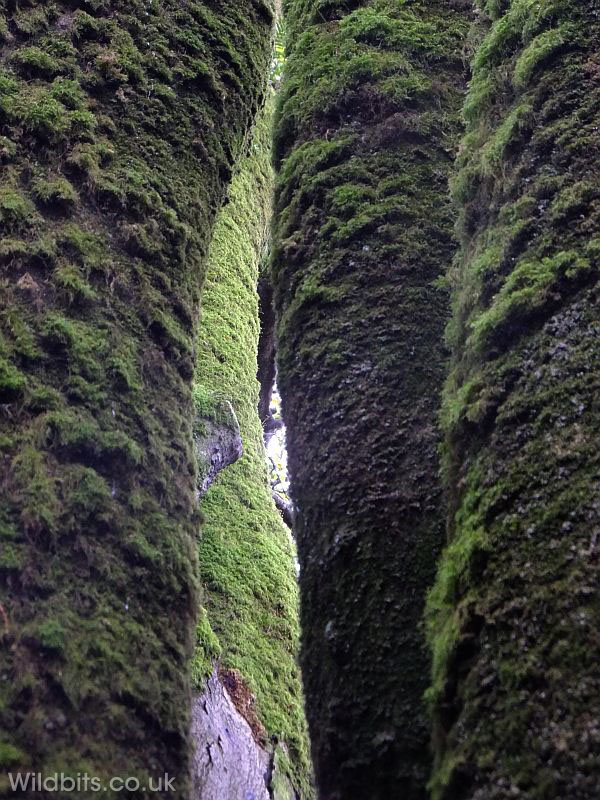 Mossy tree trunks - Trevaylor woods, Penzance, Cornwall ~ IanB ~ Wildbits.co.uk